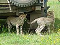 Land Rover Defender 110 - with cheetah cubs