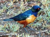 Superb_starling