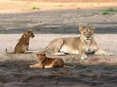 Baby_lions