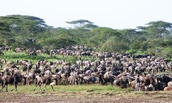Wildebeest_migration_1